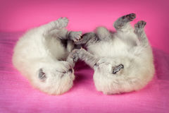 Two newborn kittens Royalty Free Stock Image