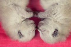 Two newborn kittens Stock Image