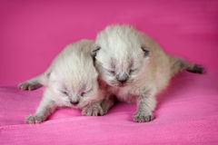 Two newborn kittens Royalty Free Stock Images