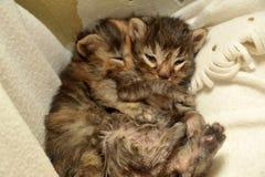 two newborn kittens are lying Stock Image