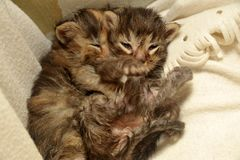 two newborn kittens are lying Royalty Free Stock Photography