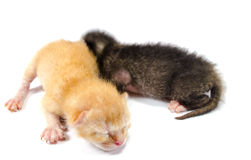 Two Newborn Kittens stock photography