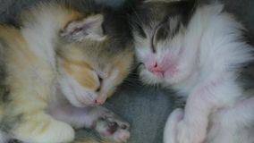 Two newborn kittens are sleeping cute. newborn kittens from the cat concept lifestyle. Two newborn kittens are sleeping cute. newborn kittens from cat concept stock footage