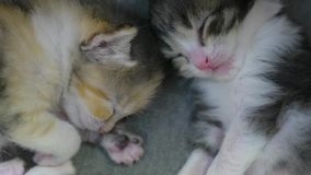 Two newborn kittens are sleeping cute. newborn kittens from lifestyle the cat concept. Two newborn kittens are sleeping cute. newborn kittens from lifestyle cat stock footage