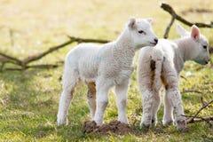 Two Newborn Lambs Stock Photography