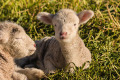Two newborn lambs resting on grass Royalty Free Stock Image