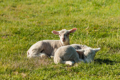 Two newborn lambs resting on meadow Royalty Free Stock Photography
