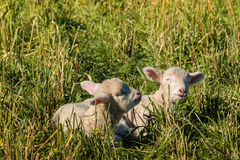 Two newborn lambs resting on meadow Royalty Free Stock Image