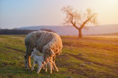 Two newborn lambs and sheep on field in warm sunset light.  stock images