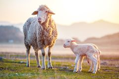 Two newborn lambs with still the umbilical cord near mother sheep. On spring sunny day stock photo