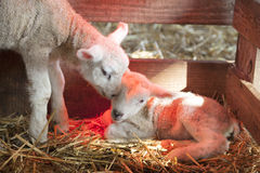 Two newborn lambs on straw under red light of heat lamp Stock Photos