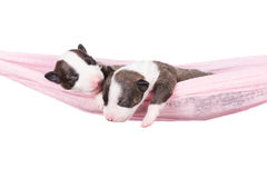 Two newborn puppies in a hammock. Newborn english bull terrier puppies Stock Photography