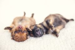Two newborn puppies sleeping on white blanket. Cute Pomeranian, spitz puppy stock photos