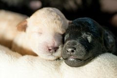 Two newborn puppies together. Two newborn puppy poodle black and beige together Royalty Free Stock Photography