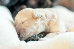 Two newborn puppies together. Two newborn puppy poodle black and beige together Royalty Free Stock Photo