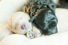 Two newborn puppies together. Two newborn puppy poodle black and beige together Stock Photos