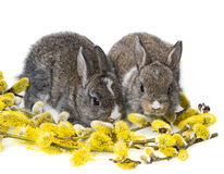 Two newborn rabbits Royalty Free Stock Photos