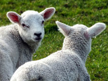 Two newborn spring lambs in closeup on grass. Two newborn spring lambs on looking at camera in closeup on grass royalty free stock image
