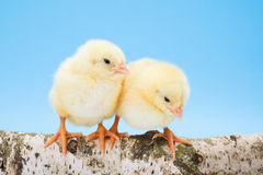 Two newborn yellow chickens standing on wooden branch Royalty Free Stock Photo