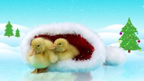 Two newborn yellow ducklings sitting in the Santa Claus hat. Winter day background version for keying in portfolio stock footage