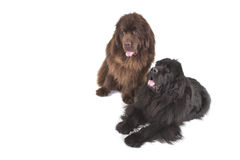 Two Newfoundland terriers. Portrait of two Newfoundland terriers on a white background Stock Photography