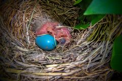 Two newly hatched American Robin chicks with unhatched egg stock photography