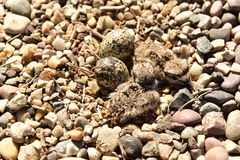 Newly hatching Killdeer chicks sitting in the nest waiting for their siblings to hatch. Two newly hatched Killdeer chicks sitting in a rock nest waiting for Royalty Free Stock Images