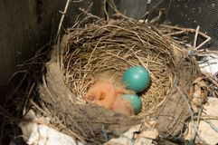Two newly hatched robin chicks and 2 eggs in a nest stock image