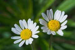 Two nice forest daisies. This is a macro shot of a couple of little beautiful forest blossoming daisies Stock Images