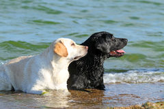 Two nice labradors at the sea Royalty Free Stock Image
