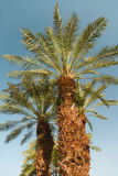 Two nice palm trees Stock Photography