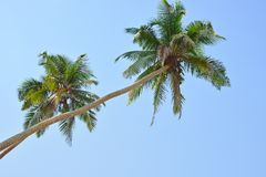 Two nice palm trees Royalty Free Stock Images