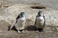 Two nice penguins Royalty Free Stock Photo
