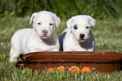 Two nice posing jack russel terrier Royalty Free Stock Images