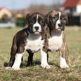 Two nice puppies of American Staffordshire Terrier Stock Photos