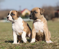 Two nice puppies of American Staffordshire Terrier Stock Images