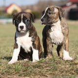 Two nice puppies of American Staffordshire Terrier Stock Image