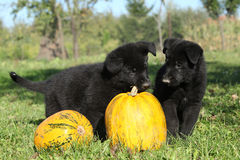 Two nice puppies with pumpkin. Two nice puppies of German shepherd with pumpkin Stock Images