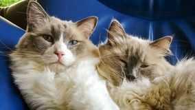 Two nice Ragdoll cats with pretty blue eyes. Two nice Ragdoll cats. It is best known for its docile and placid temperament and affectionate nature. The name stock photos