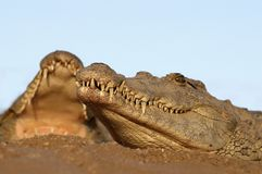 Two Nile Crocodiles laying in sand. Image taken from low down Royalty Free Stock Photos