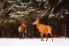 Two noble deer males against the background of a beautiful winter snow forest. Natural winter landscape. Christmas image. Selecti. Ve focus royalty free stock image