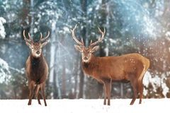 Two noble deer males with females against the background of a beautiful winter snow forest. Artistic winter landscape. Christmas image. Selective focus royalty free stock image