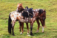 Two nomadic horses Royalty Free Stock Photo