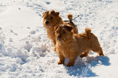 Two Norfolk Terriers. On walk in the winter royalty free stock photos