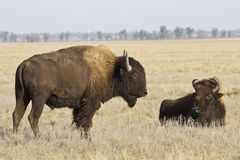Two North American bison in the steppe Royalty Free Stock Photo