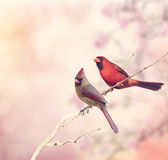 Two Northern Cardinals Royalty Free Stock Image