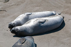 Two Northern Elephant Seals warming in the sun at the Piedras Blancas Elephant Seal colony on the Central Coast of California Royalty Free Stock Photos