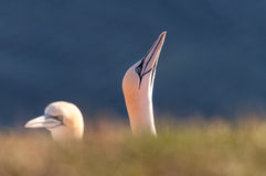 Two Northern Gannet heads Stock Photos