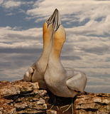 Two Northern Gannets Stock Photo