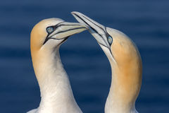 Two Northern Gannets in sunset light at German island Helgoland. Two Northern Gannets greeting each other in sunset light at Helgoland, German Island royalty free stock photography